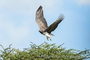 Marshall eagle, Meru National Park, Kenya, Polemaetus bellicosus