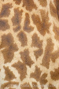 Masai giraffe, coloration patterns, Giraffa camelopardalis tippelskirchi