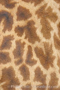 Masai giraffe, coloration patterns., Giraffa camelopardalis tippelskirchi, natural history stock photograph, photo id 12539