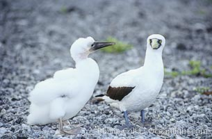 Masked booby adult and juvenile, Sula dactylatra, Rose Atoll National Wildlife Sanctuary