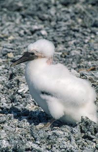 Masked booby juvenile on coralline rubble, Rose Atoll National Wildlife Refuge, Rose Atoll National Wildlife Sanctuary