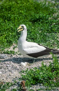 Masked booby, Rose Atoll National Wildlife Refuge, Sula dactylatra, Rose Atoll National Wildlife Sanctuary