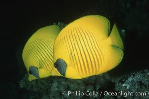 Masked butterflyfish. Egyptian Red Sea, Egypt, Chaetodon semilarvatus, natural history stock photograph, photo id 05268