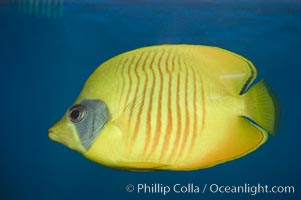 Golden butterflyfish., Chaetodon semilarvatus, natural history stock photograph, photo id 07835
