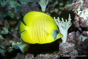 Masked butterflyfish, Chaetodon semilarvatus