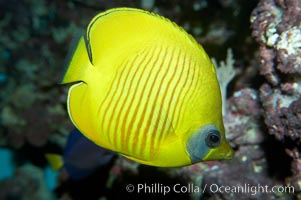 Image 11804, Masked butterflyfish., Chaetodon semilarvatus, Phillip Colla, all rights reserved worldwide. Keywords: animal, bluecheek butterflyfish, butterflyfish, chaetodon semilarvatus, creature, fish, golden butterflyfish, marine, marine fish, masked butterfly, masked butterflyfish, nature, ocean, sea, teleost fish, underwater, wildlife.