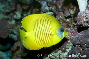 Masked butterflyfish., Chaetodon semilarvatus, natural history stock photograph, photo id 11807