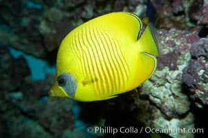 Masked butterflyfish., Chaetodon semilarvatus, natural history stock photograph, photo id 11808
