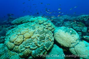 Massive round Porites lobata coral heads, Clipperton Island. Clipperton Island, France, Porites lobata, natural history stock photograph, photo id 33024
