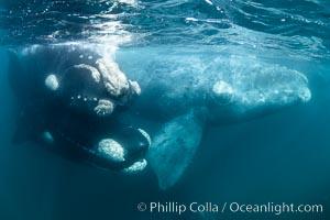Mating pair of southern right whales underwater (on left), Eubalaena australis, Argentina, Eubalaena australis, Puerto Piramides, Chubut