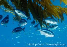 Half-moon perch school below offshore drift kelp, open ocean. San Diego, California, USA, Medialuna californiensis, natural history stock photograph, photo id 09987