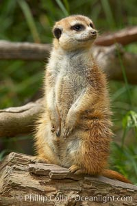 Image 12533, Meerkat (or suricat)., Suricata suricatta, Phillip Colla, all rights reserved worldwide. Keywords: meerkat, suricata suricatta.