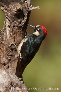 Acorn woodpecker, male, Melanerpes formicivorus, Madera Canyon Recreation Area, Green Valley, Arizona