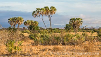 Meru National Park landscape. Kenya, Hyphaene thebaica, natural history stock photograph, photo id 29680