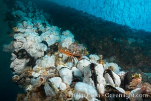 Metridium anemones covering Oil Rig Elly underwater structure. Long Beach, California, USA, Metridium senile, natural history stock photograph, photo id 31127