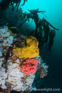 Colorful Metridium anemones, pink Gersemia soft corals, yellow suphur sponges cover the rocky reef in a kelp forest near Vancouver Island and the Queen Charlotte Strait.  Strong currents bring nutrients to the invertebrate life clinging to the rocks, Gersemia rubiformis, Metridium senile, Halichondria panicea