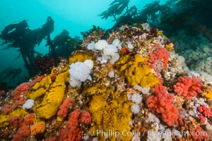 Colorful Metridium anemones, pink Gersemia soft corals, yellow suphur sponges cover the rocky reef in a kelp forest near Vancouver Island and the Queen Charlotte Strait.  Strong currents bring nutrients to the invertebrate life clinging to the rocks, Gersemia rubiformis, Halichondria panicea