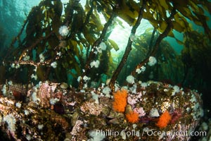 Metridium senile anemones cover the reef below a forest of bull kelp, Browning Pass, Vancouver Island, Metridium senile, Nereocystis luetkeana