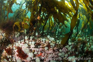 Metridium senile anemones cover the reef below a forest of bull kelp, Browning Pass, Vancouver Island. British Columbia, Canada, Metridium senile, Nereocystis luetkeana, natural history stock photograph, photo id 35289