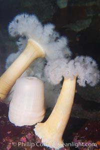 Giant plumose anemone, Metridium farcimen, natural history stock photograph, photo id 14043