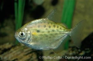 Silver dollar, a freshwater fish native to the Amazon and Paraguay river basins of South America., Metynnis hypsauchen, natural history stock photograph, photo id 09338
