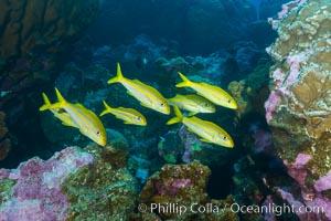 Mexican goatfish, Mulloidichthys dentatus, Clipperton Island
