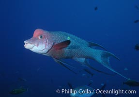 Mexican hogfish, adult male showing fleshy bump on head, Revilligigedos., Bodianus diplotaenia, natural history stock photograph, photo id 05768