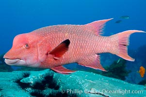 Mexican hogfish, adult male showing fleshy bump on head. Guadalupe Island (Isla Guadalupe), Baja California, Mexico, Bodianus diplotaenia, natural history stock photograph, photo id 09620
