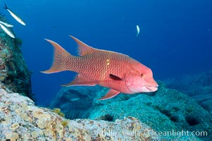Mexican hogfish, adult male showing fleshy bump on head. Guadalupe Island (Isla Guadalupe), Baja California, Mexico, Bodianus diplotaenia, natural history stock photograph, photo id 09619