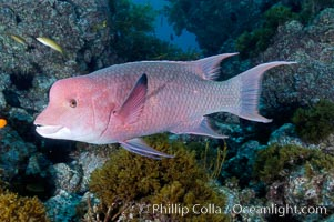 Mexican hogfish, adult male showing fleshy bump on head. Guadalupe Island (Isla Guadalupe), Baja California, Mexico, Bodianus diplotaenia, natural history stock photograph, photo id 09622