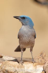 Mexican jay. Madera Canyon Recreation Area, Green Valley, Arizona, USA, Aphelocoma ultramarina, natural history stock photograph, photo id 23046