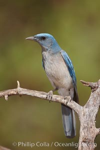 Mexican jay. Madera Canyon Recreation Area, Green Valley, Arizona, USA, Aphelocoma ultramarina, natural history stock photograph, photo id 22912
