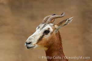 Mhorrs gazelle, Gazella dama mhorr