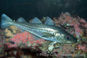 Pacific tomcod., Microgadus proximus, natural history stock photograph, photo id 11818