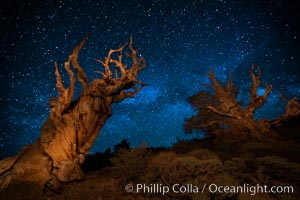 Image 27775, Stars and the Milky Way rise above ancient bristlecone pine trees, in the White Mountains at an elevation of 10,000' above sea level.  These are some of the oldest trees in the world, reaching 4000 years in age. Ancient Bristlecone Pine Forest, White Mountains, Inyo National Forest, California, USA, Pinus longaeva, Phillip Colla, all rights reserved worldwide. Keywords: ancient, ancient bristlecone, ancient bristlecone pine forest, ancient bristlecone pine tree, bristlecone, bristlecone pine, bristlecone pine tree, california, dolomite, dusk, environment, evening, forest, galaxy, gnarled, great basin bristlecone pine, grove, growth, inyo national forest, lifespan, longevity, methuselah trail, methuselah walk, milky way, morning, mountain, national forests, nature, night, old, old growth, outdoors, outside, pine, pine tree, pinus longaeva, plant, rock, schulman grove, soil, stars, summer, sunrise, terrestrial plant, time, tree, twisted, usa, western bristlecone pine, white mountains, white mountains inyo national forest.