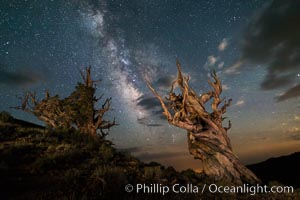 Stars and the Milky Way over ancient bristlecone pine trees, in the White Mountains at an elevation of 10,000' above sea level. These are some of the oldest trees in the world, some exceeding 4000 years in age, Pinus longaeva, Ancient Bristlecone Pine Forest, White Mountains, Inyo National Forest