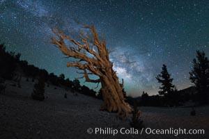 Milky Way over Ancient Bristlecone Pine Trees, Inyo National Forest. Ancient Bristlecone Pine Forest, White Mountains, Inyo National Forest, California, USA, Pinus longaeva, natural history stock photograph, photo id 29316