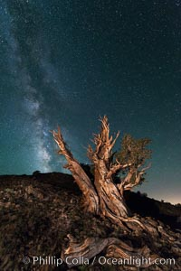 Milky Way over Ancient Bristlecone Pine Trees, Inyo National Forest. Ancient Bristlecone Pine Forest, White Mountains, Inyo National Forest, California, USA, Pinus longaeva, natural history stock photograph, photo id 29321