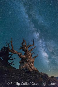 Milky Way over Ancient Bristlecone Pine Trees, Inyo National Forest. Ancient Bristlecone Pine Forest, White Mountains, Inyo National Forest, California, USA, Pinus longaeva, natural history stock photograph, photo id 29323
