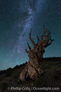 Image 29324, Milky Way over Ancient Bristlecone Pine Trees, Inyo National Forest. Ancient Bristlecone Pine Forest, White Mountains, Inyo National Forest, California, USA, Pinus longaeva, Phillip Colla, all rights reserved worldwide. Keywords: ancient, ancient bristlecone, ancient bristlecone pine forest, ancient bristlecone pine tree, astrophotography, bristlecone, bristlecone pine, bristlecone pine tree, california, dolomite, environment, evening, forest, galaxy, gnarled, great basin bristlecone pine, grove, growth, inyo national forest, landscape astrophotography, lifespan, longevity, milky way, mountain, national forests, nature, night, old, old growth, outdoors, outside, pine, pine tree, pinus longaeva, plant, rock, soil, stars, terrestrial plant, time, tree, twisted, usa, western bristlecone pine, white mountains, white mountains inyo national forest.