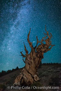 Milky Way over Ancient Bristlecone Pine Trees, Inyo National Forest. Ancient Bristlecone Pine Forest, White Mountains, Inyo National Forest, California, USA, Pinus longaeva, natural history stock photograph, photo id 29325