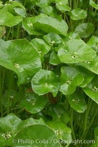 Miners lettuce, Batiquitos Lagoon, Carlsbad, Claytonia perfoliata perfoliata