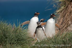 Mixed group of Magellanic and gentoo penguins, walk from the ocean through tall tussock grass to the interior of Carcass Island. Falkland Islands, United Kingdom, Pygoscelis papua, Spheniscus magellanicus, natural history stock photograph, photo id 24045