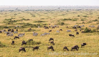 Mixed Herd of Wildebeest and Zebra, aerial photo, Maasai Mara National Reserve, Kenya. Maasai Mara National Reserve, Kenya, Equus quagga, natural history stock photograph, photo id 29825