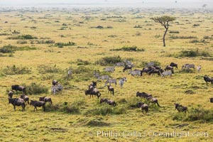 Mixed Herd of Wildebeest and Zebra, aerial photo, Maasai Mara National Reserve, Kenya, Equus quagga