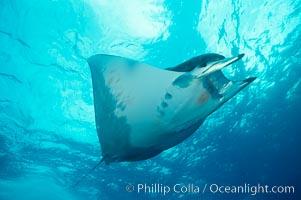 Mobula ray. Cocos Island, Costa Rica, Mobula, natural history stock photograph, photo id 01997