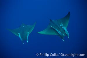Mobula ray with remora. Cocos Island, Costa Rica, Mobula, natural history stock photograph, photo id 02003