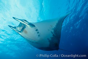 Mobula ray. Cocos Island, Costa Rica, Mobula, natural history stock photograph, photo id 01995