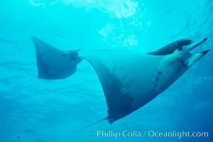 Mobula ray. Cocos Island, Costa Rica, Mobula, natural history stock photograph, photo id 01998