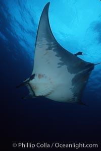 Mobula ray. Cocos Island, Costa Rica, Mobula, natural history stock photograph, photo id 02001